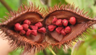 Semillas de annatto